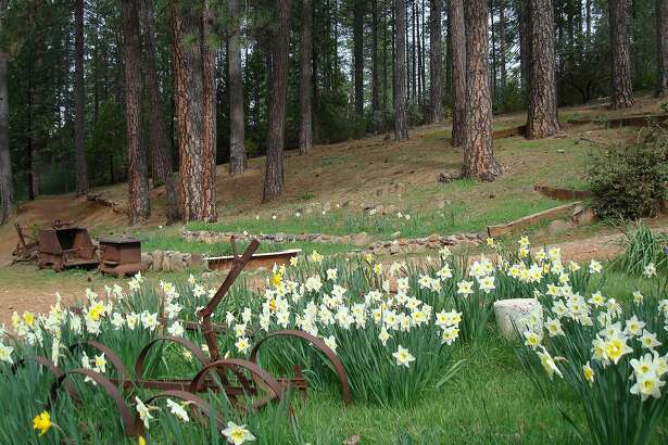 Daffodil Hill in the lush Sierra Ffoothills.