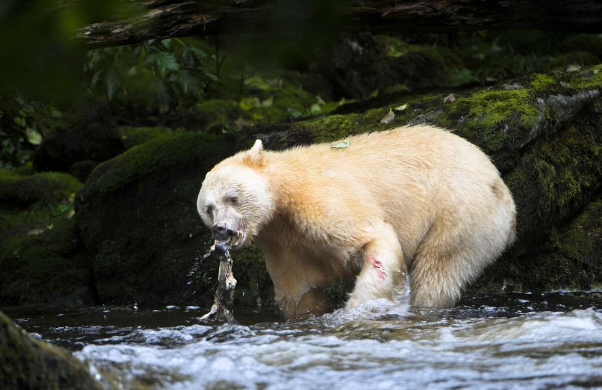 Adult Spirit Bear or Kermode Bear (Ursus americanus kermodei) in stream fishing for salmon on Gribbell Island, Great Bear Rainforest in British Columbia, Canada. (Getty Images)