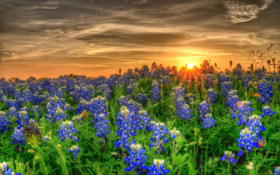 Texas bluebonnets in field Photo: Ronnie Wiggin, Getty Images / Flickr RF