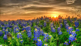 Texas bluebonnets in field