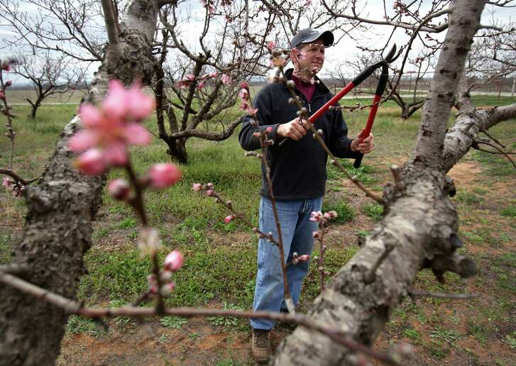 Peaches are pruned to open up the middles for light penetration and air movement. Height is also controlled with pruning.