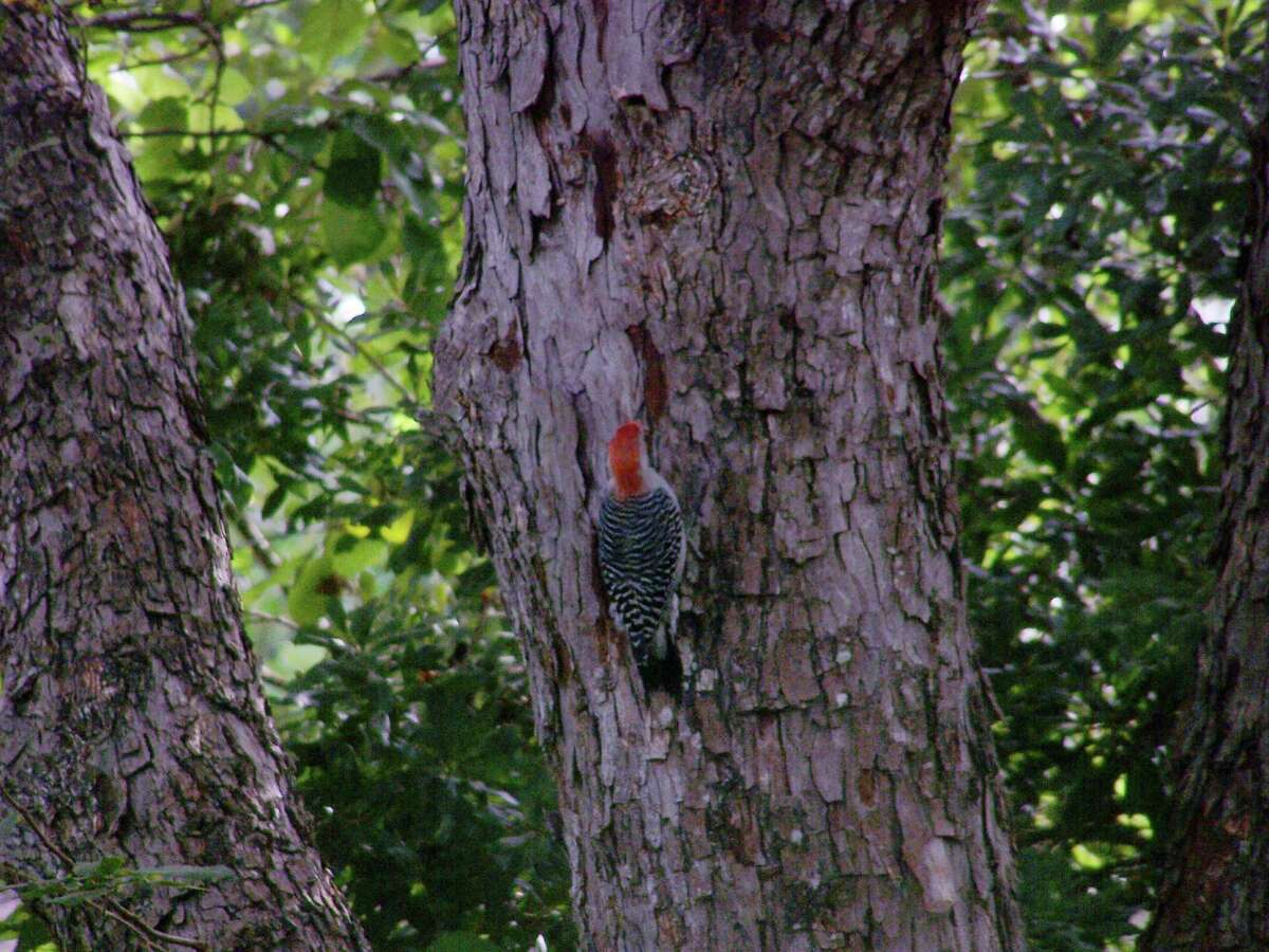 A woodpecker finds a spot to his liking.