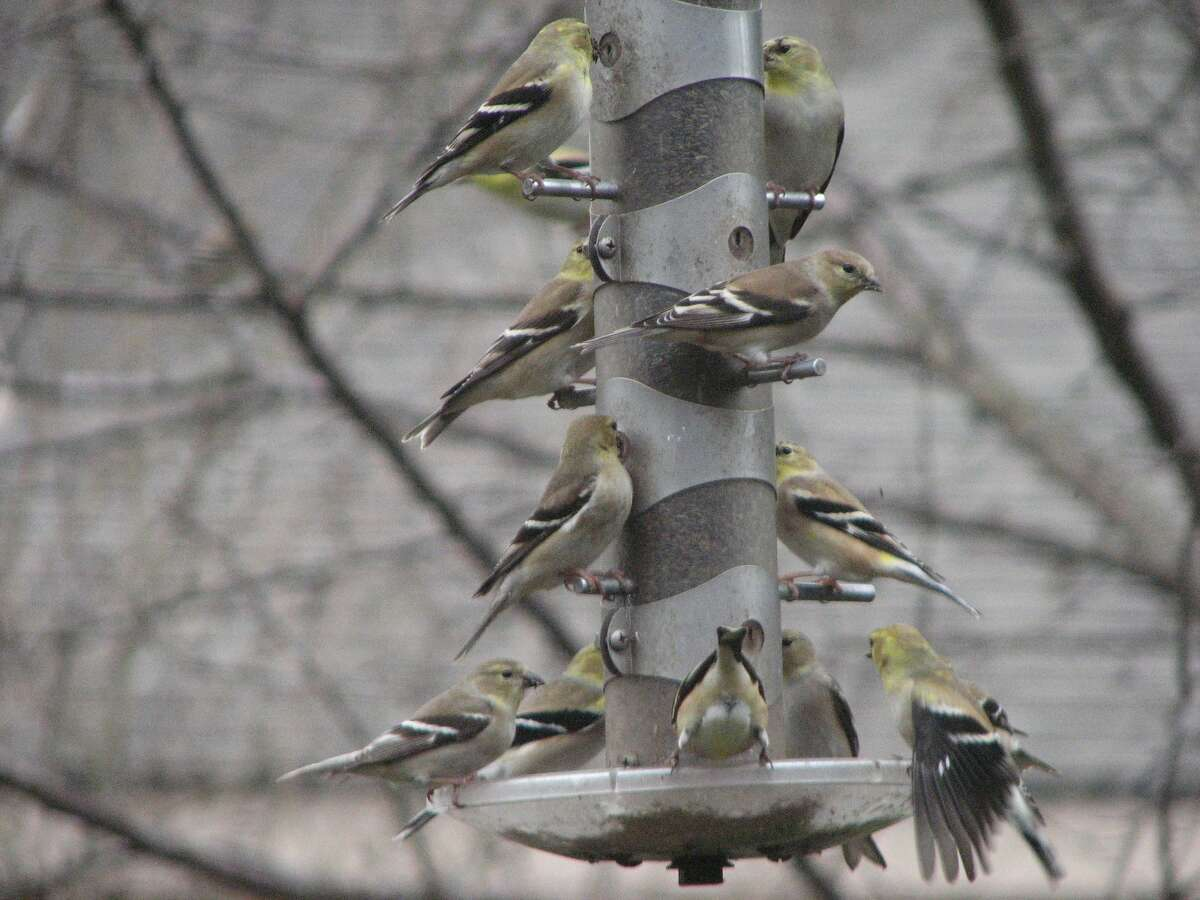 Until spring and summer flowers bloom, a birdfeeder provides nourishment for these goldfinches.