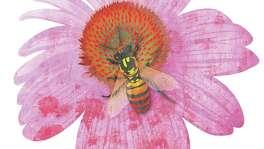 Bee Illustration with coneflower. Robert Wuensche illustration / Houston Chronicle
