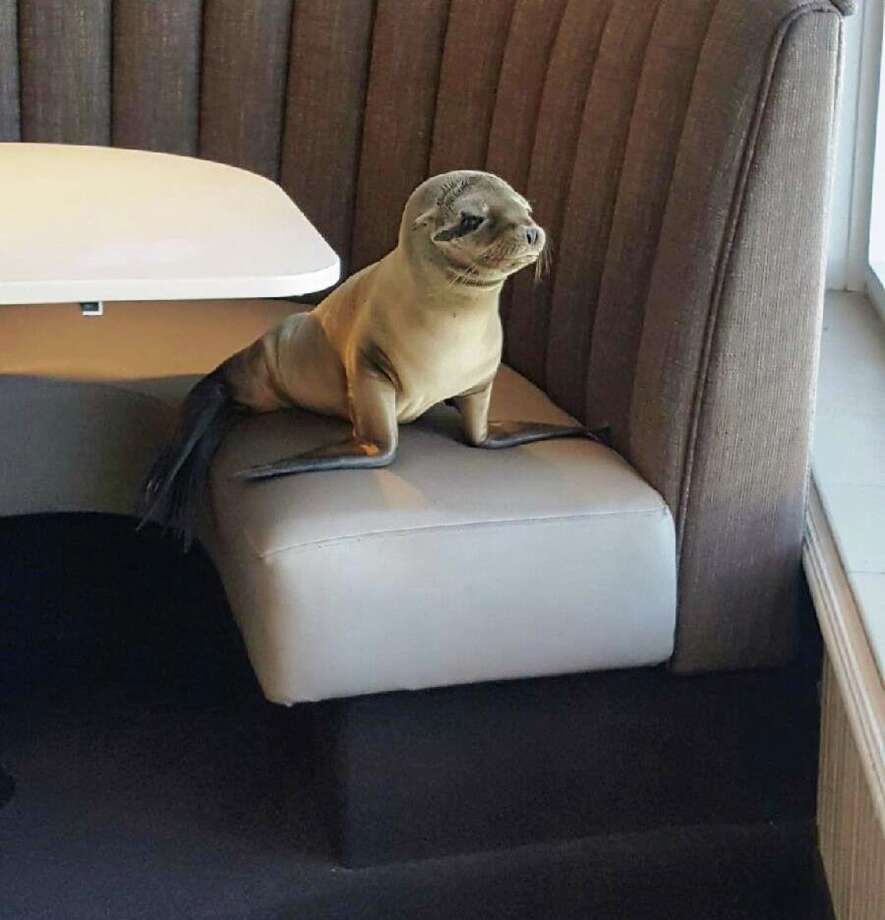 A malnourished sea lion pup pulled up to a booth at the beachside Marine Room restaurant in La Jolla, Calif., on Thursday, Feb. 4, 2016. Photo: Bernard Guillas