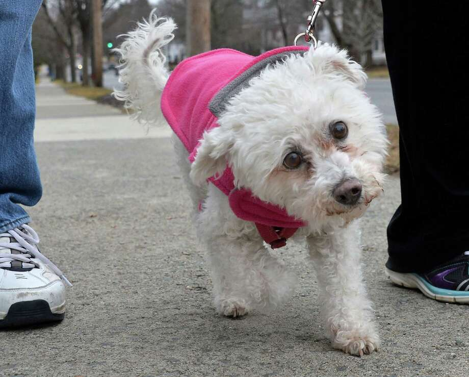 15-year-old Bichon Frise, Kizzie goes for a walk with her pet parents along Western Avenue Friday Feb. 5, 2016 in Albany, NY.   (John Carl D'Annibale / Times Union) Photo: John Carl D'Annibale