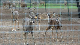 Prize whitetail deer hang out together in a pen in Karnes County on February 14, 2015. State officials announced Friday that a deer raised and harvested on a ranch in Medina and Uvalde counties has tested positive for Chronic Wasting Disease, the sixth case since Texas recorded its first white-tail infected with the neurological disorder last June.