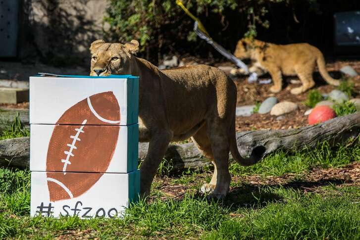 """A lion sniffed at a football painted box stuffed with bones at the San Francisco Zoo, in San Francisco, California on Friday, February 5, 2016. The San Francisco Zoo was holding the """"Zooper Bowl"""" which was a race to see whether a lion or rhino could chew up a football painted treat the fastest."""