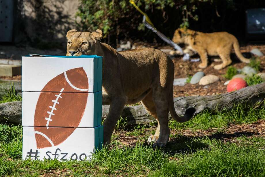 """A lion sniffed at a football painted box stuffed with bones at the San Francisco Zoo, in San Francisco, California on Friday, February 5, 2016. The San Francisco Zoo was holding the """"Zooper Bowl"""" which was a race to see whether a lion or rhino could chew up a football painted treat the fastest. Photo: Gabrielle Lurie, Special To The Chronicle"""