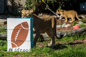 S.F. zoo animals predict Super Bowl 50: Panthers win - Photo