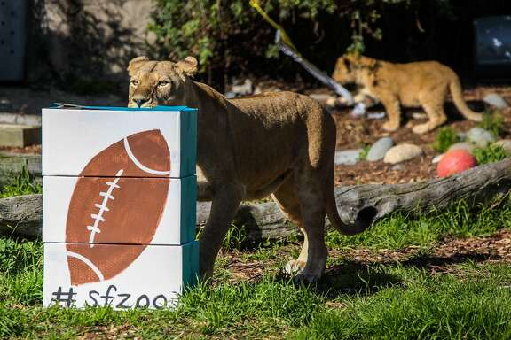 "A lion sniffed at a football painted box stuffed with bones at the San Francisco Zoo, in San Francisco, California on Friday, February 5, 2016. The San Francisco Zoo was holding the ""Zooper Bowl"" which was a race to see whether a lion or rhino could chew up a football painted treat the fastest."