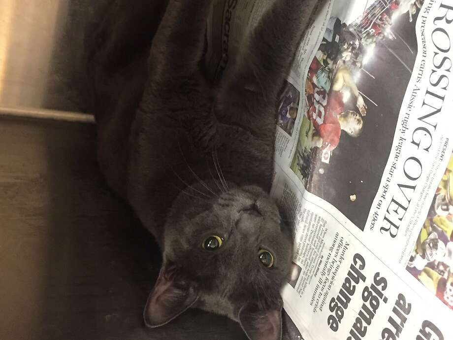 Furley, a gray cat living at a Contra Costa County animal shelter. Owners cannot drop off unwanted pets at Contra Costa shelters for the next 30 days, officials said. Photo: Courtesy Of CCC Animal Services