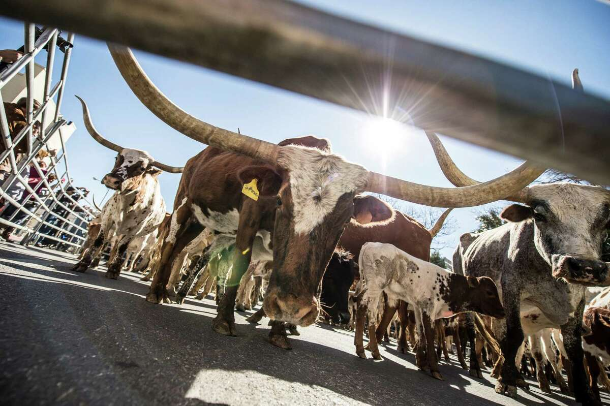 Longhorns on Houston Street during the Western Heritage Parade and Cattle Drive in downtown San Antonio on Saturday, Feb. 6, 2016.