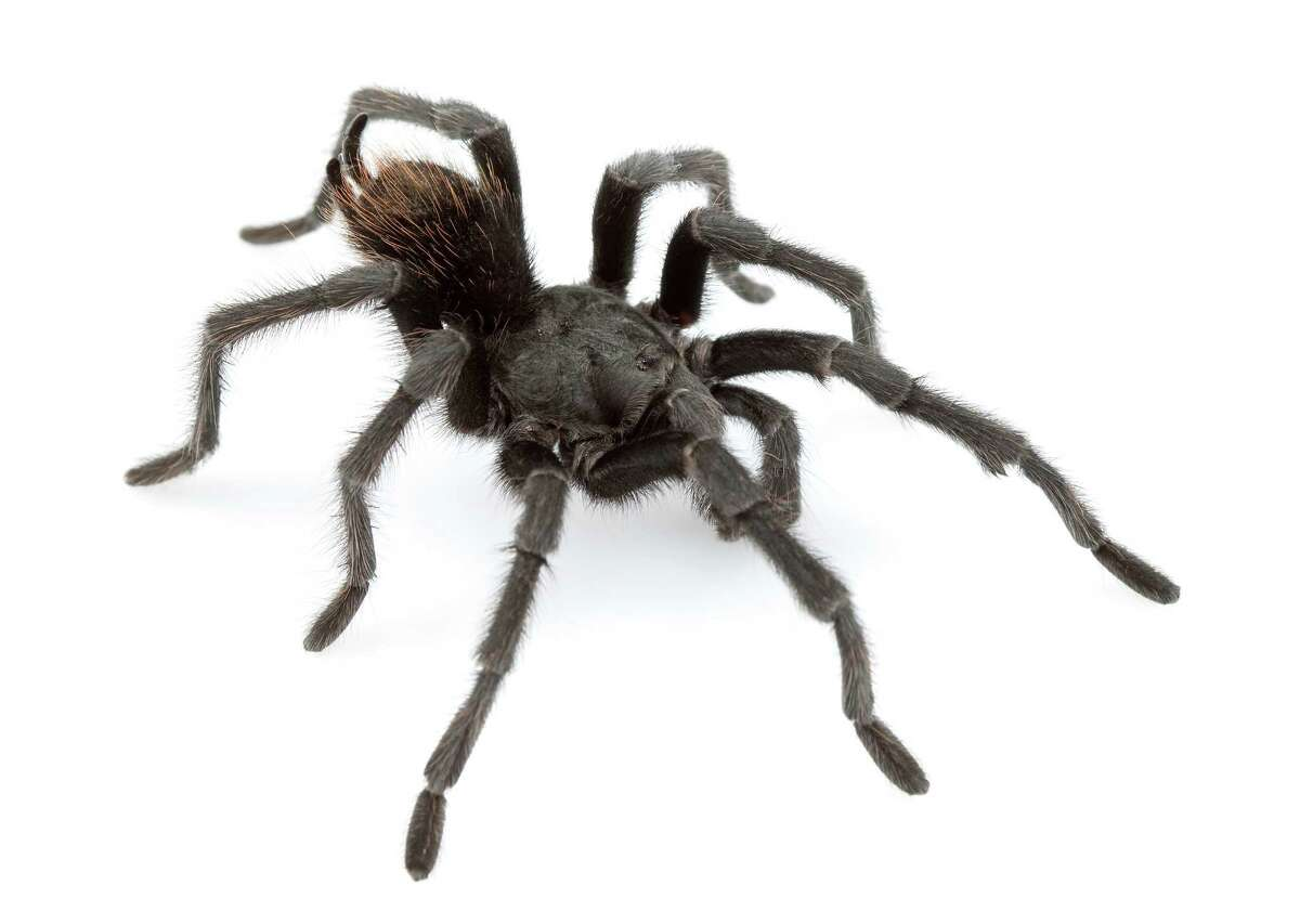 """Aphonopelma johnnycashi is all black, the way Johnny Cash often dressed when he sang songs like """"The Man in Black"""" and """"Folsom Prison Blues"""" in his bass-baritone voice."""