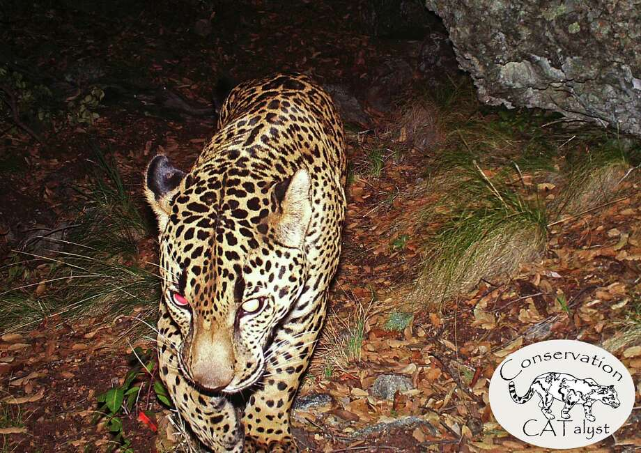 """This undated still frame taken from the first publicly released video of the giant cat, provided by the Center for Biological Diversity, shows the only known wild jaguar in the United States roaming in a mountain range just south of Tucson, Ariz. """"El Jefe"""" � Spanish for """"the boss"""" � has been living in the Santa Rita Mountains 25 miles south of downtown Tucson for over three years, according to the Center for Biological Diversity. Photo: AP / Center for Biological Diversity"""