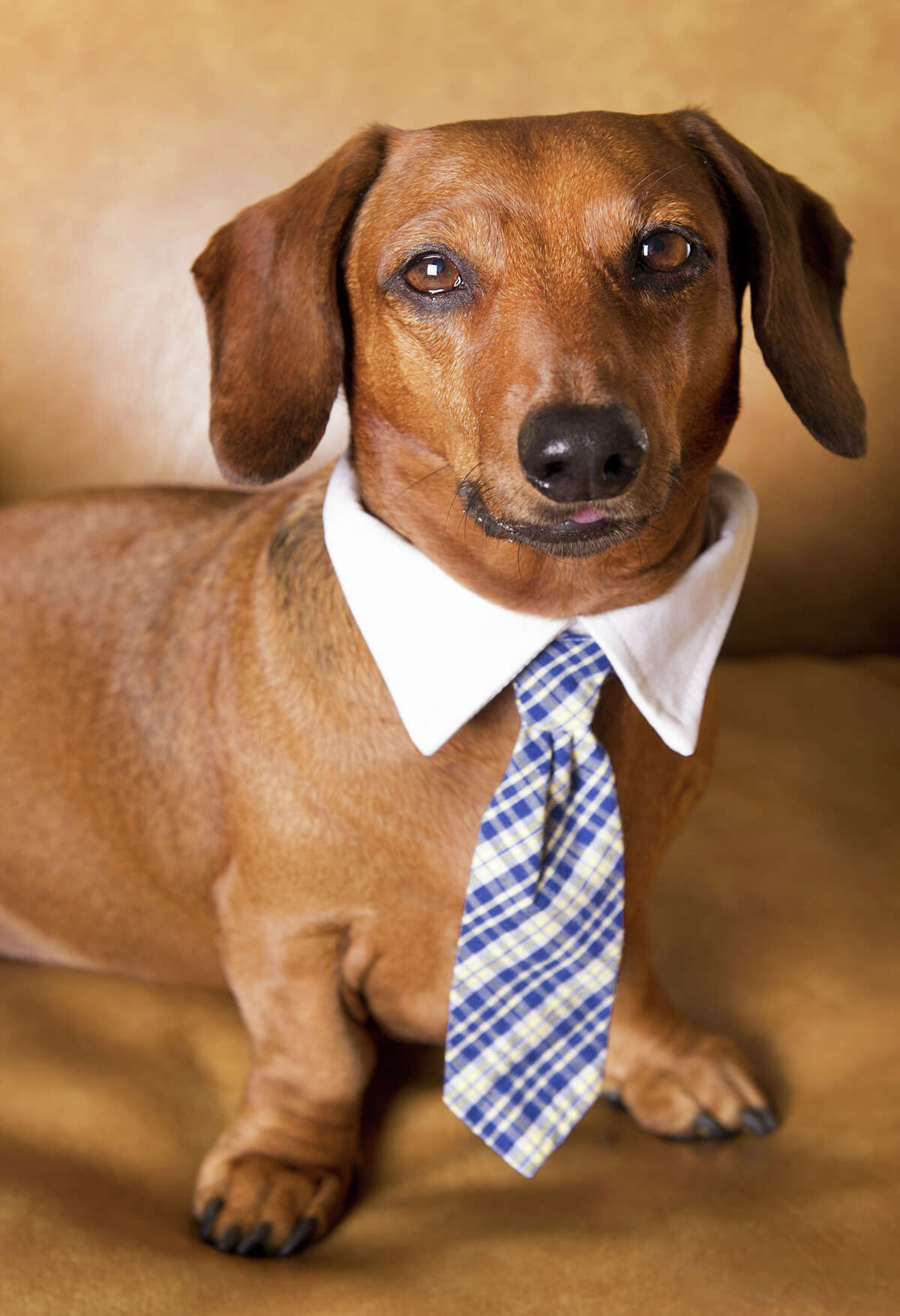 This dachshund, who is going to have to talk to the folks at corporate before he can approve any additional overtime for Q3.