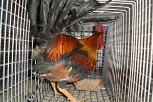 Texas authorities make another big cockfighting bust - Photo