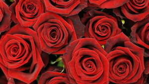 Red roses  = love and desire