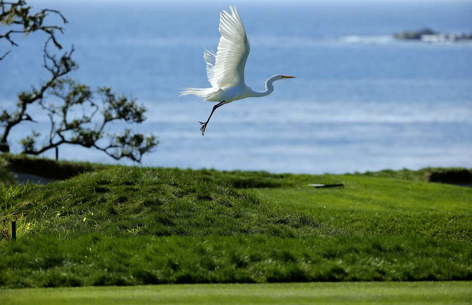 An egret takes flights off the fourth green during practice rounds at the Pebble Beach Golf Links, on Wed. February 10, 2016, as players get set for the AT&T Pebble Beach Pro-Am, in Pebble Beach, California. Photo: Michael Macor