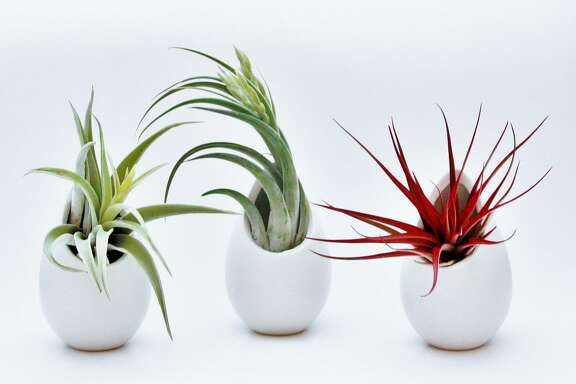 A set of three ceramic vases with air plants can be staged together in a grouping or spread about a house or apartment ($37, airplantsupplyco.com). MUST CREDIT: Air Plant Supply.