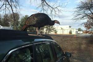 Rogue wild turkey running amok in Colonie - Photo