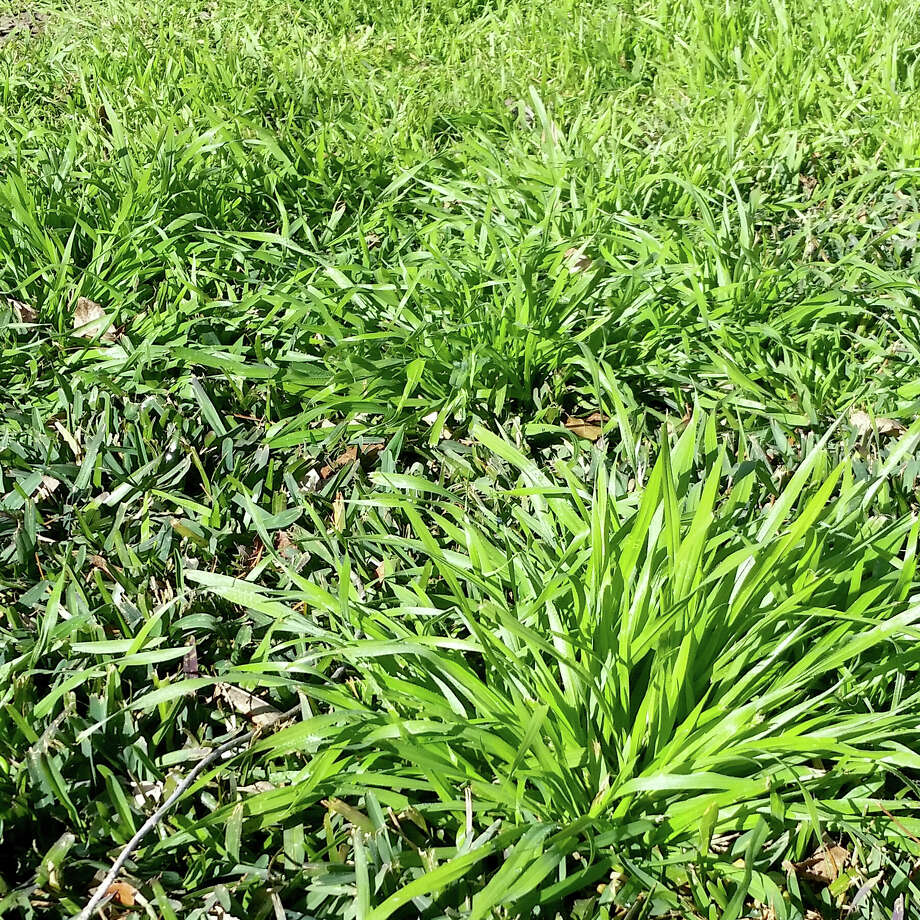 This is a cool-season grass that germinates in September, then goes to seed by late spring. You prevent grassy weeds by applying Team, Dimension or Halts granules between Aug. 25 and Sept. 7. Photo: Courtesy Photo
