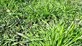 This is a cool-season grass that germinates in September, then goes to seed by late spring. You prevent grassy weeds by applying Team, Dimension or Halts granules between Aug. 25 and Sept. 7.