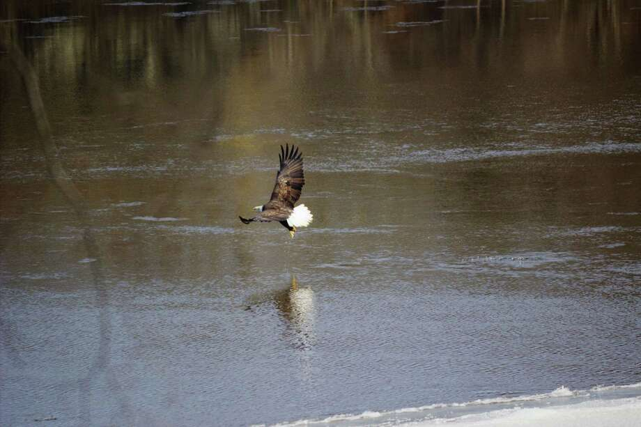"Douglas Jacomine captured this image of an eagle fishing on the Hudson River at Waterford this week. ""I was raking the yard, saw him swooping and had time to grab the camera,"" he said. In winter months eagles travel three miles south from their nests near Lock One of the Champlain Canal to take advantage of the carp spawning grounds at Waterford next to his house. ""Residents are keen to not disturb them in recognition of the energy they expend to hunt .. .even when they swoop after ducks residing  in the channels,"" Jacomine said."