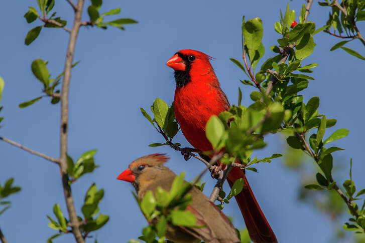 Northern cardinal males with their sweet songs and flashy colors are wooing available females.  Photo Credit:  Kathy Adams Clark.  Restricted use.