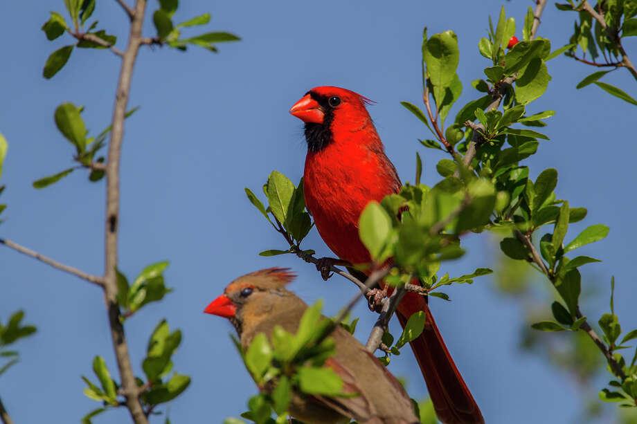 Poesía y una taza de té: Canción del cardenal