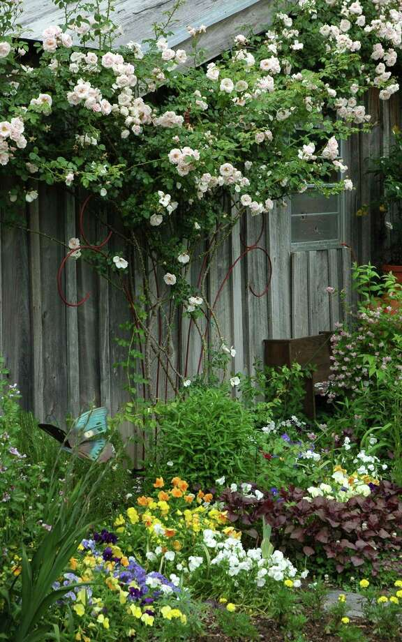 "Climbing roses, such as the ""New Dawn"" variety, add a vertical dimension to the landscape. Photo: Handout, HO / MCT"