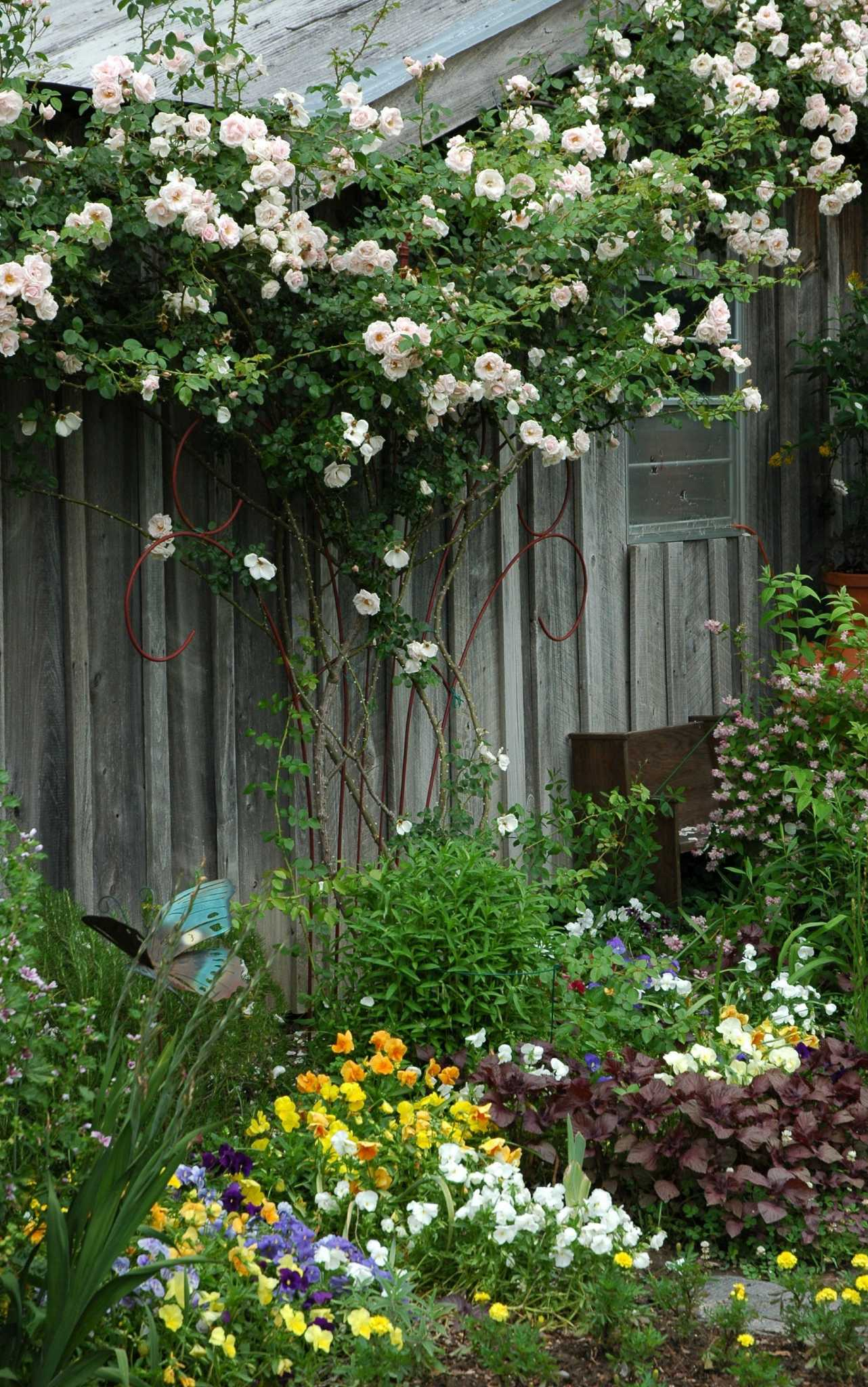 Ho/how to take care of climbing roses for winter - Ho/how To Take Care Of Climbing Roses For Winter 15