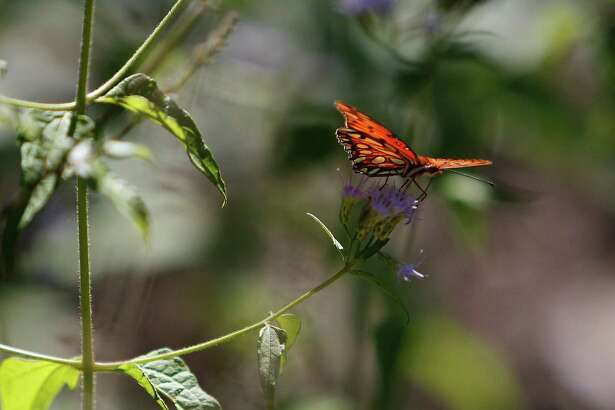 Nancy Grieg, director of the Cockrell Butterfly Center will talk about new research on butterfly gardening in a Feb. 16 meeting of the Sugar Land Garden Club.