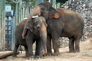 Pachyderm paramours: Elephants at the Houston Zoo.