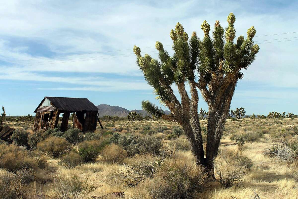 In this 2013 file photo, Joshua trees display unusually abundant booms in the Cima Dome area of the Mojave National Preserve.