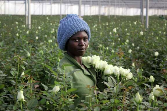 Phanice Cherop works at AAA Growers' Simba farm in Nyahururu, Kenya. The flowers she picked recently were likely headed for a vase in Australia, England, Japan or the United States. Kenya is the sixth-largest flower exporter to the U.S.
