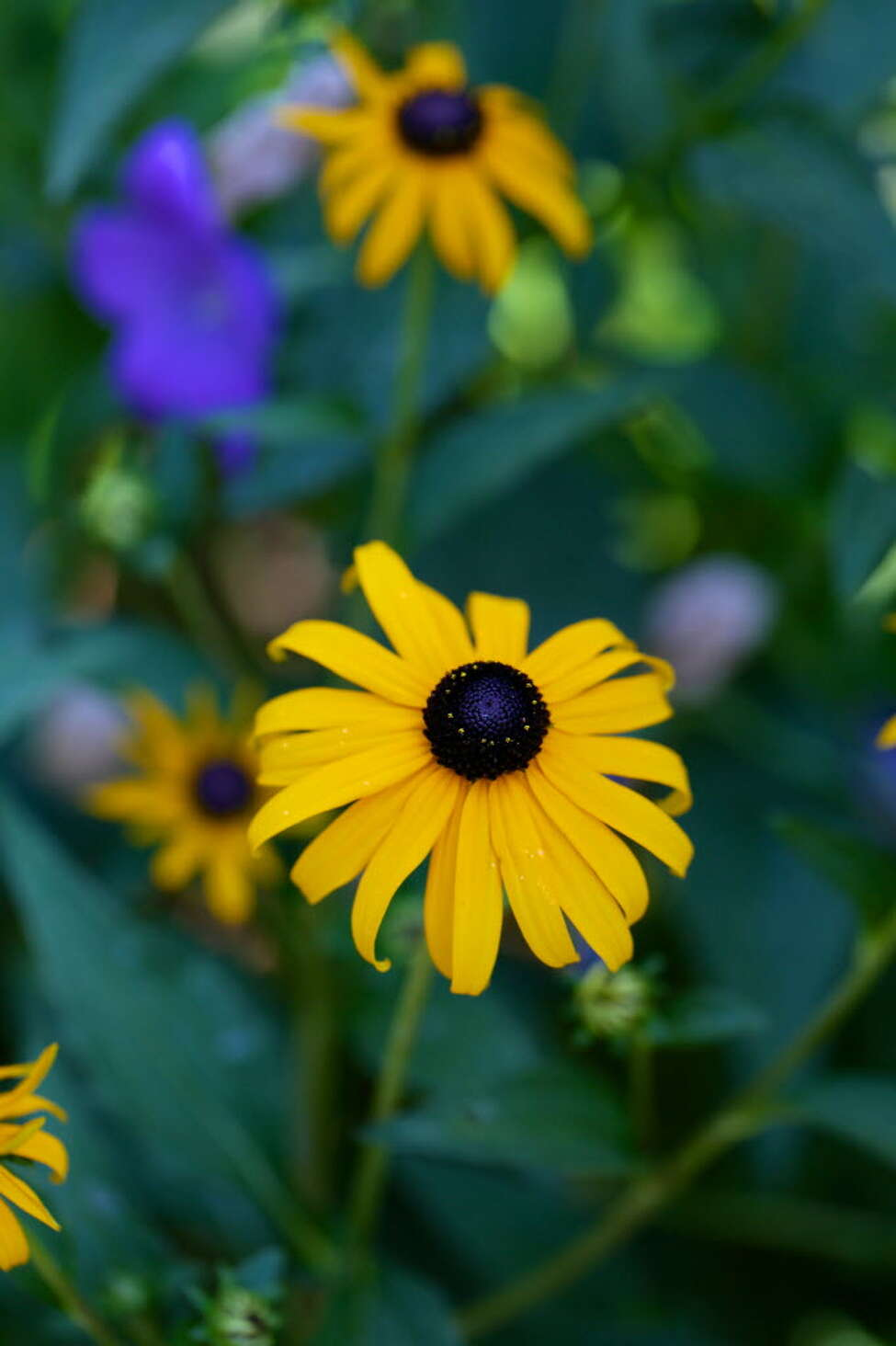 Black-Eyed Susans are a bright yellow daisy-like flower with dark centers. They are drought-tolerant and provide food for caterpillars, finches and bees. Photo provided by Getty Images.