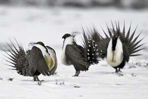Environmentalists cleared to join fight over sage grouse rules - Photo