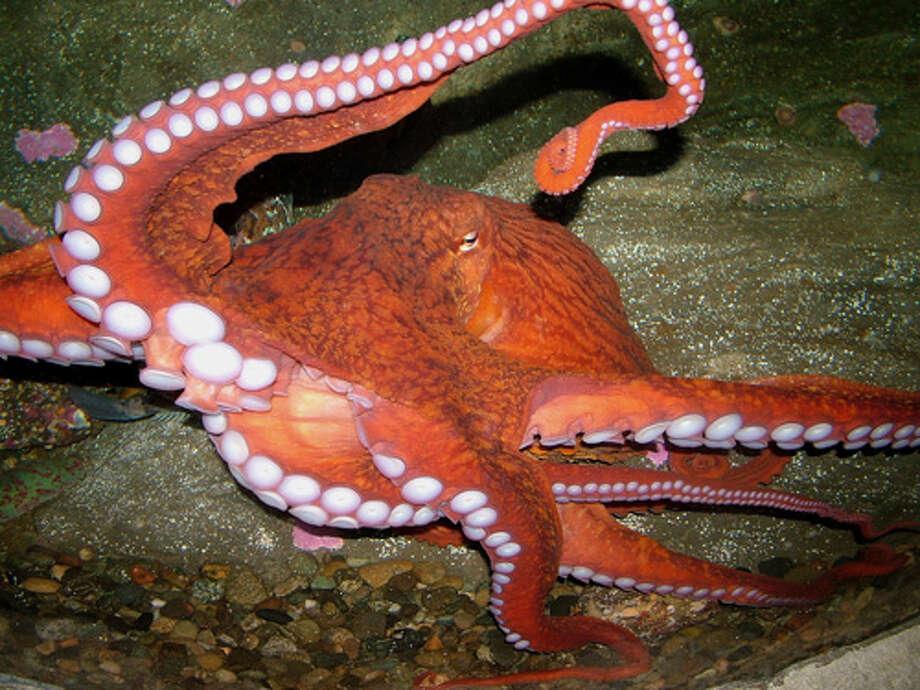 A giant Pacific octopus at the Seattle Aquarium Photo: Seattle Aquarium