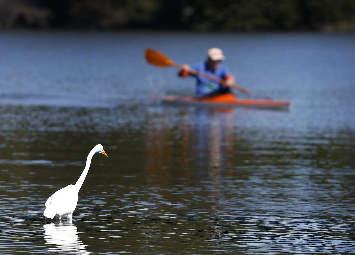An egret hunts for its next snack while Larry Jassens paddles past in his kayak at Aquatic Park in Berkeley, Calif. on Monday, Feb. 15, 2016. High temperature records were expected to be broken throughout the region as the Bay Area continues to bask in warm weather.