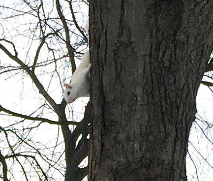 It wasn t the snow rare white squirrel spotted in fairfield