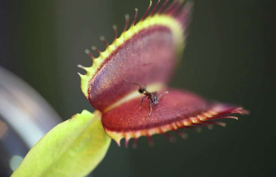 Researchers have determined the motor cells that close the leafy jaws of a Venus flytrap on prey act only when they receive two electrical impulses within about 20 seconds from the plant's trigger hair. Photo: Soenke Scherzer / New York Times