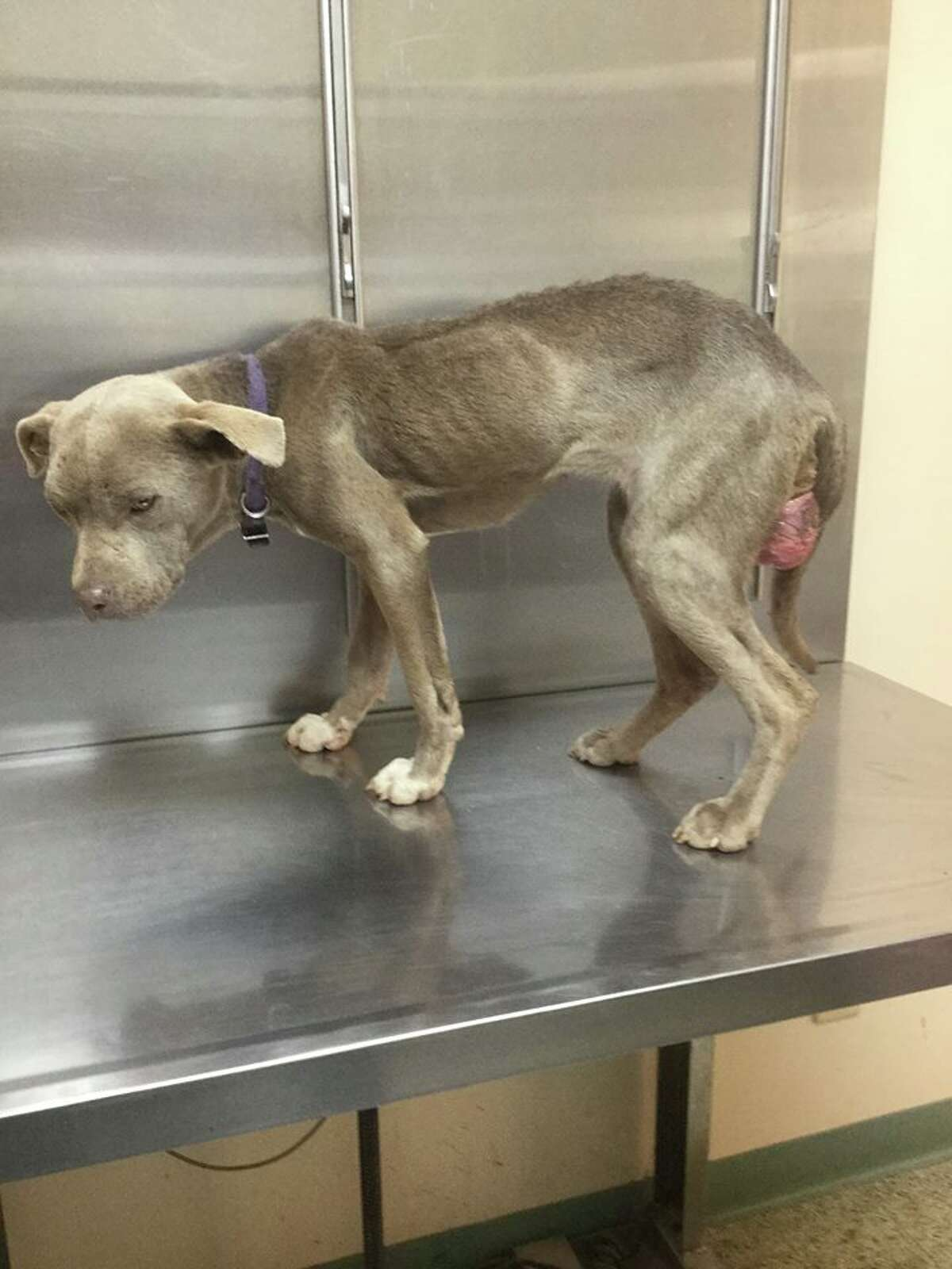 Graycie was abandoned along a dirt road and was at least 10 pounds underweight when she came under the care of Andy Mathis.