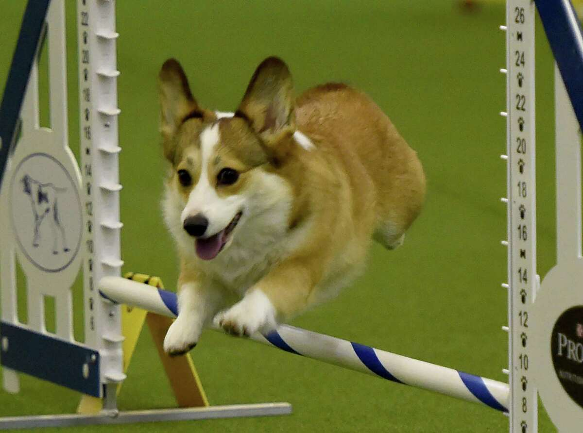 Albany County Sheriff Craig Apple is urging people to be vigilant after his office received complaints that scammerspromising to deliver minaturedachshunds, corgies, French bulldogs and lhasa apsoswere ripping off people. This photograph shows a Pembroke Welsh corgi running the agility course during the 3rd Annual Masters Agility Championship on February 13, 2016 in New York, at the 140th Annual Westminster Kennel Club Dog Show. / AFP / Timothy A. CLARYTIMOTHY A. CLARY/AFP/Getty Images