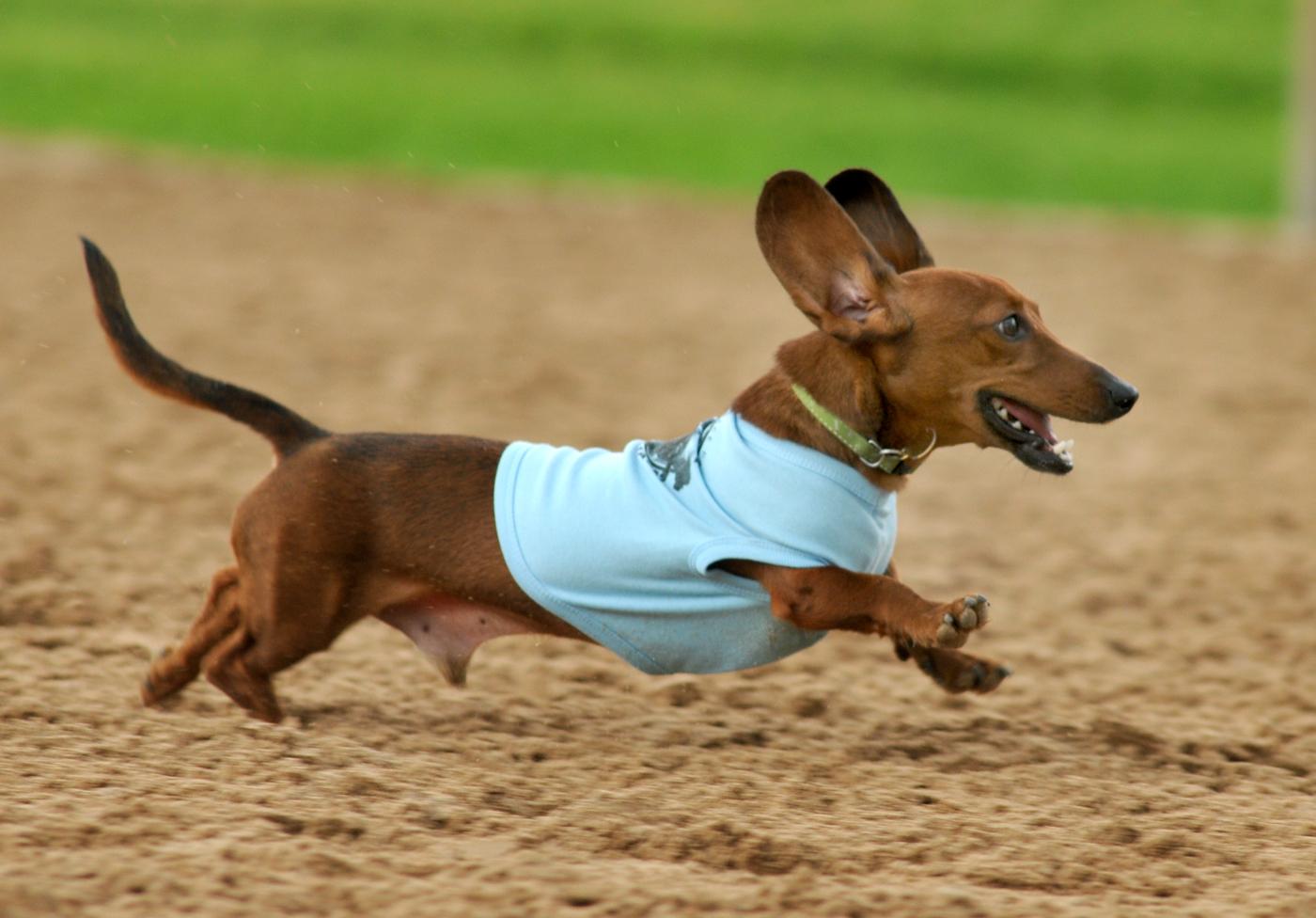 Get A Long Little Doggie At Wiener Dog Races Houston