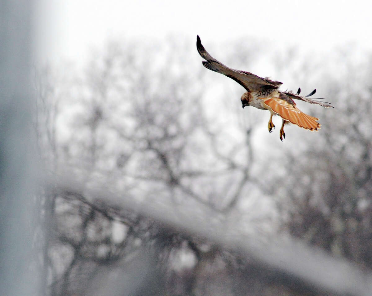 A red-tailed hawk, one of a pair that nests near the playing fields behind Greenwich High School, on the hunt around the ball fields at the school on Wednesday.