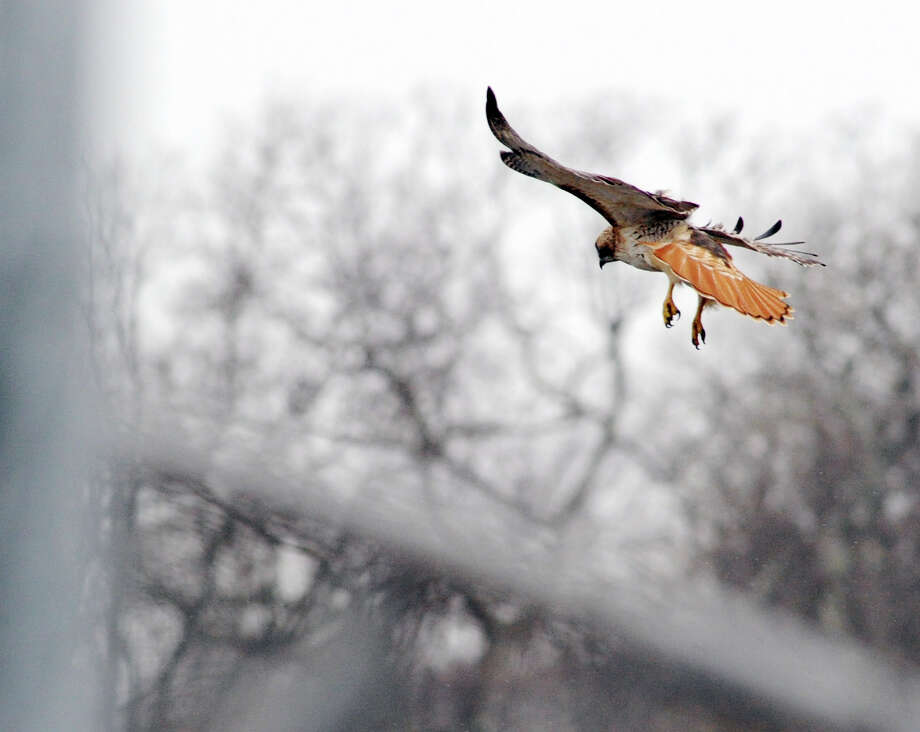 A red-tailed hawk, one of a pair that nests near the playing fields behind Greenwich High School, on the hunt around the ball fields at the school on Wednesday. Photo: Bob Luckey / Hearst Connecticut Media / Greenwich Time