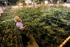 Managing Partner David Lipton in a large medical marijuana grow room at Advanced Grow Labs in West Haven, Conn. on Wednesday, June 10, 2015.