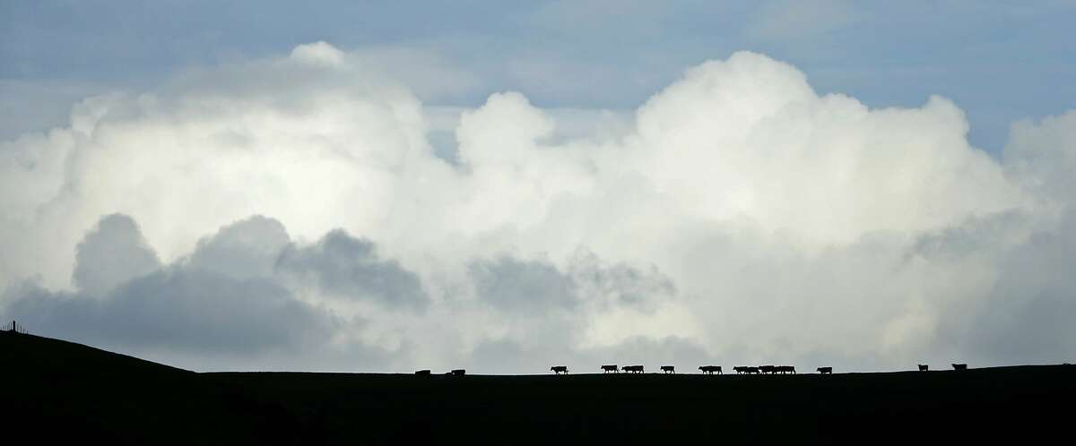 Beef cattle head in to be fed at the Giammona ranch in Point Reyes National Seashore in Olema, Calif., on Thursday, February 18, 2016.
