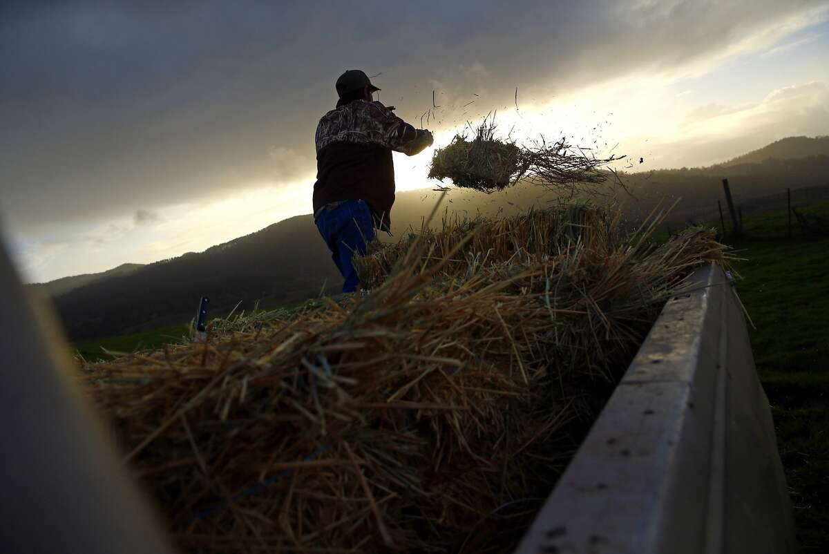 Ryan Giammona spreads hay to feed the beef cattle on his father's leased ranch in Point Reyes National Seashore in Olema, Calif., on Thursday, February 18, 2016.